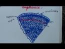 Урок биологии №6. Стебель. Функции, внутреннее строение и видоизменения. (1)