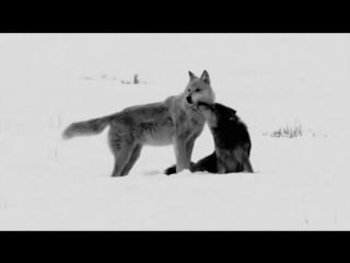 Nargaroth - Amarok - Zorn Des Lammes III (lyrics)