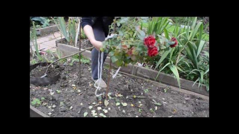 Как уложить штамбовую розу на зиму Часть1