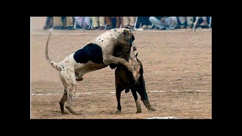 Bully Kutta vs Fila Brasileiro - Ultimate Clash