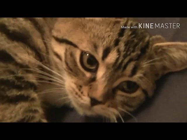 Разговорчивые коты   Коты-болтуны   Милые и наглые кошки  