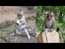 Baby Monkey Sweet Pea crying every day so sad , monkey life - part 147