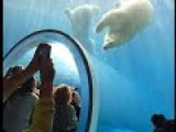 Polar Bears Assiniboine Park Zoo Winnipeg Manitoba Canada