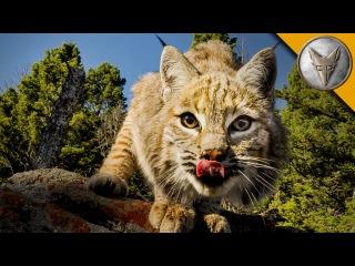 Про рыжую рысь (Lynx rufus)