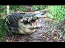 Saltwater Crocodile eating a pigs head