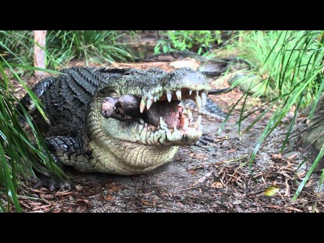 Saltwater Crocodile eating a pigs head