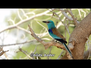 Abyssinian Roller / Абиссинская сизоворонка / Coracias abyssinica