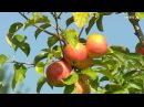«Край аграрный». Подсолнечник и яблоки