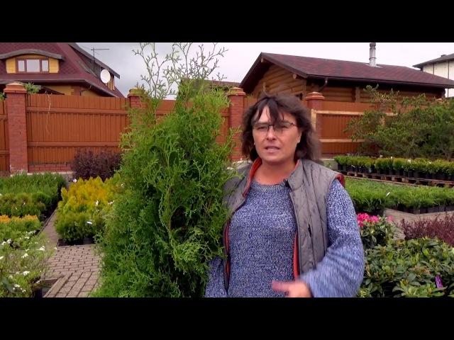 Советы при покупке хвойных. Как правильно купить растения - туя западная, можжевельник и др хвойные