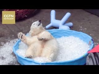 Детёныш белого медведя играет со льдом во время летнего зноя