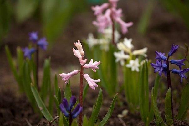 #фотовесна Дождались тепла и зацвели гиацинты в саду!  А у вас на клум