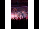 Lions, Circus Krone