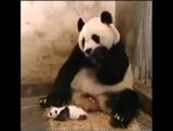 панда испуг