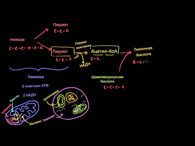 Цикл Кребса/Цикл лимонной кислоты