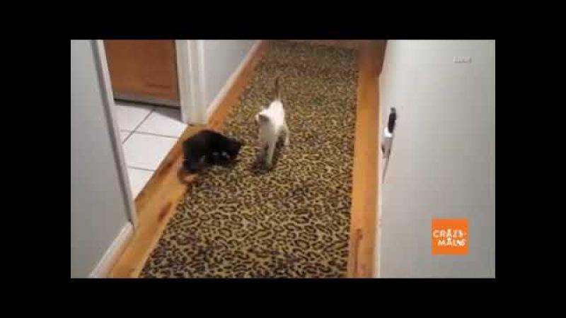 Кот прыгун
