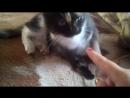 моя любимая кошка Даша