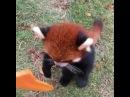 Красная панда просит свою вкусняшку 😍 coub