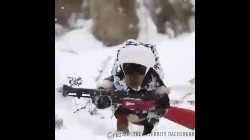 Chien de chasse Rambo