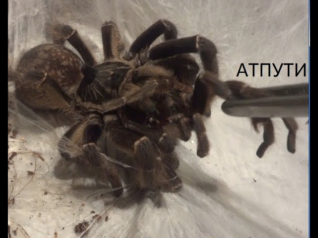 Ceratogyrus marshalli самка съела самца