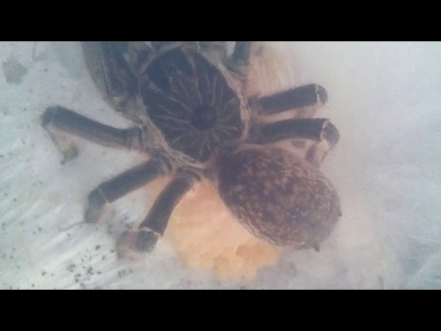 Ceratogyrus marshalli заплетает кокон