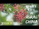 Daily Life in China Picking Sichuan Pepper in Rural Qinghai