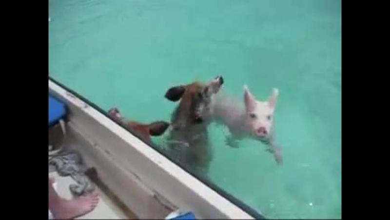 Свиньи в Океане