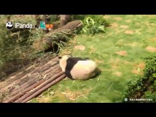 Сколько раз упала панда?