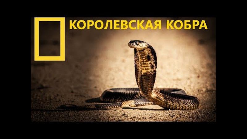 Королевская кобра | King Cobra (Документальные фильмы Nat Geo Wild HD)