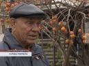 24 11 2016 Севастопольцы продолжают собирать урожай хурмы