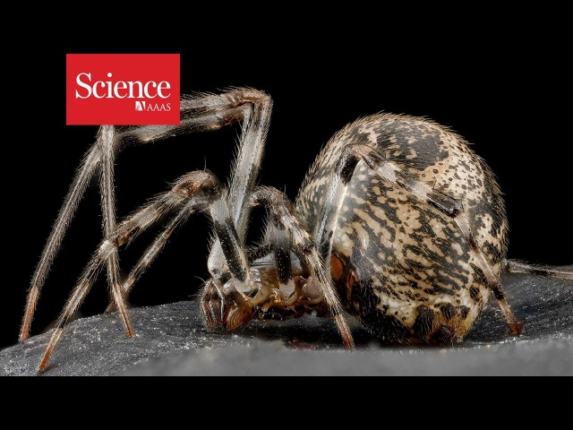 Spider genes put a new spin on arachnids' potent venoms, stunning silks, and surprising history