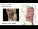 Мышцы живота функциональная анатомия