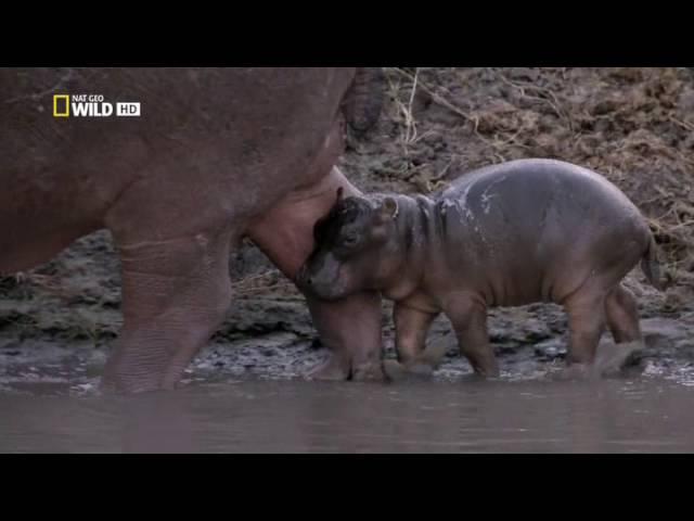 превосходство бегемота - интересные факты(серия №1)