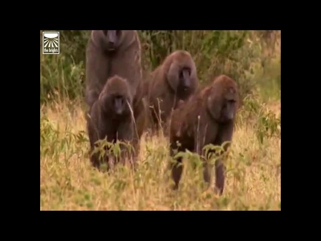 Роберт Сапольски Чему стоит научиться у бабуинов перезалив