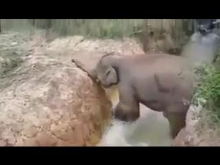 Слониха помогла маленькому слоненку выбраться из водоема