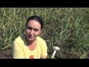 Новости с чесночной плантации. Когда выкапывать