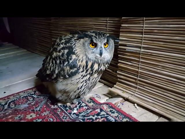 Филин Ёль и зеркало Eagle Owl Yoll and the mirror