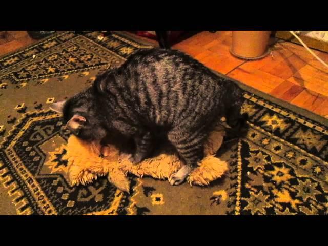 кота возбуждают звуки