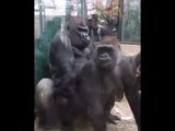 - gorillas don't give 2 f- @$ _joy_ - HEY !!!! GOT A VIDEO YOU WANT ME TO POST__ DM m ( 765 X 612 ).mp4