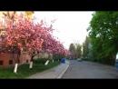 Цвіт сакури в Ужгороді