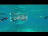 Одна из самых больших рыб на Земле - Китовая акула на Филиппинах ...