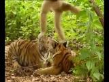 Gibbon taunts tigers