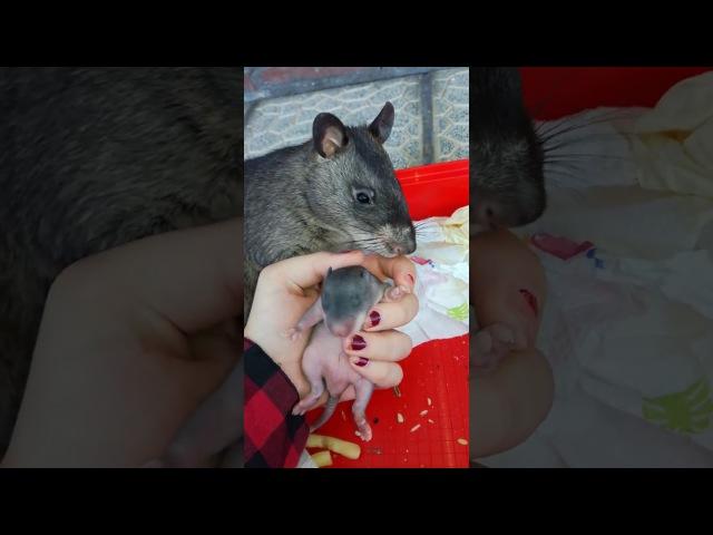 Гамбийская крыса показывает своего детеныша
