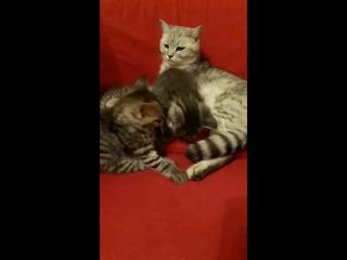 важная мама-кошка
