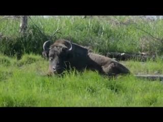 Зубр в Плейстоценовом парке
