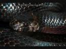 Рост и перецветание чёрной молочной змеи Lampropeltis triangulum gaigeae