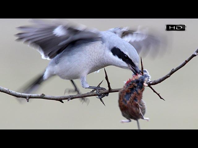 Симпатичная певчая птичка с наклонностями колосажателя и мясника - Сорокопут