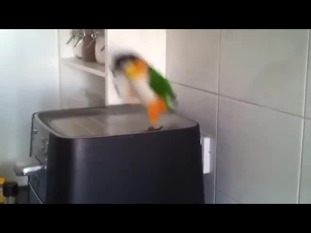 This parrot has some serious river dancing skills. · coub, коуб