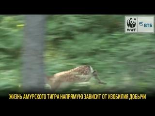 Защищая копытных, мы защищаем тигра!