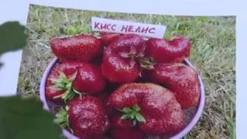 Новые сорта супер-крупноплодной садовой земляники. Выход передачи 4.08.16