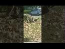 Койот напал на кота (Coyote Snaps Cat Neck Broad Daylight San Jose,.CA)